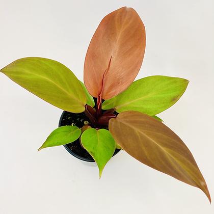 Philodendron – ORANGE JUICE
