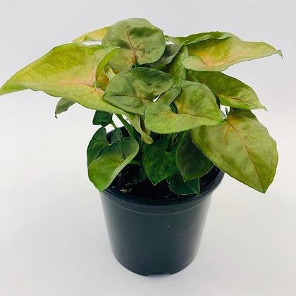 Syngonium Podophyllum – BERRY