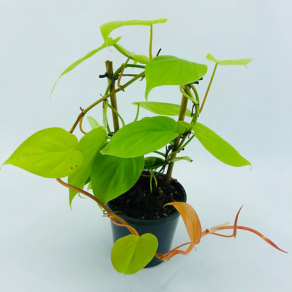 Philodendron Cordatum Gold – GOLDEN HEART LEAF PHILODENDRON
