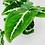 Thumbnail: Syngonium Wendlandii – GREEN VELVET