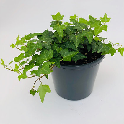 Hedera Helix – GREEN IVY