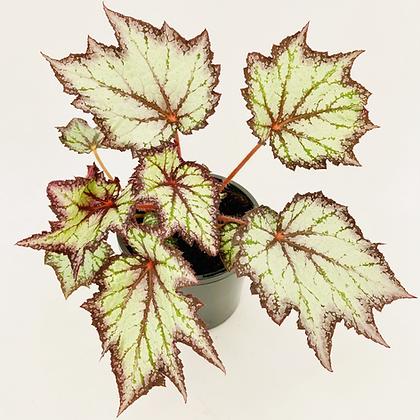 Begonia Rex – BEWITCHED LAVENDER
