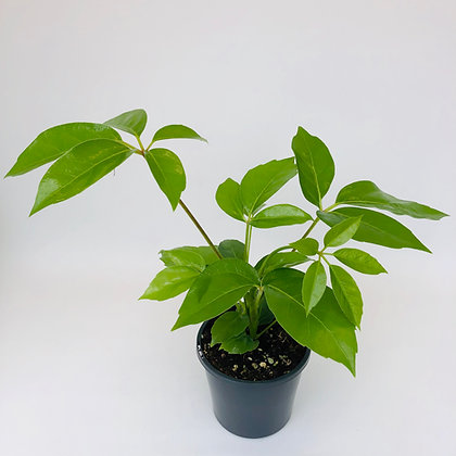 Schefflera Arboricola (Dwarf) – UMBRELLA TREE