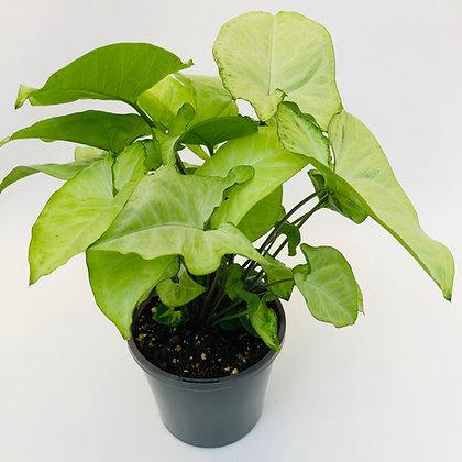 Syngonium Podophyllum – WHITE BUTTERFLY