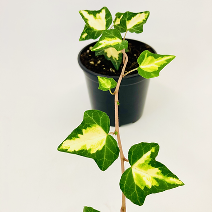 Hedera Helix - GOLD HEART IVY
