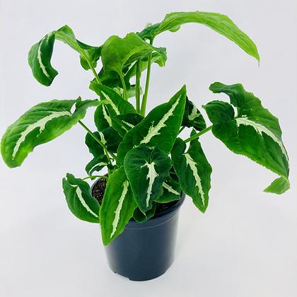 Syngonium Wendlandii – GREEN VELVET