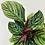 Thumbnail: Calathea Ornata – PINSTRIPE