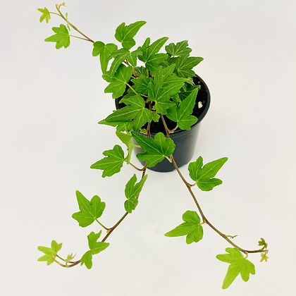 Hedera Helix - GREEN RIPPLE IVY