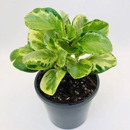 Peperomia Obtusifolia – GREEN & GOLD