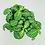 Thumbnail: Fittonia Minima – WHITE TABBY