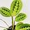 Thumbnail: Maranta Erythroneura – RED PRAYER PLANT