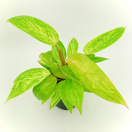 Philodendron – PAINTED LADY