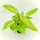 Thumbnail: Philodendron – PAINTED LADY