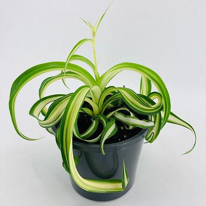 Chlorophytum Comosum - CURLY SPIDER