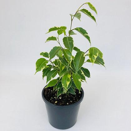 Ficus Benjamina – STAR LIGHT