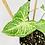Thumbnail: Syngonium Podophyllum - BATIK