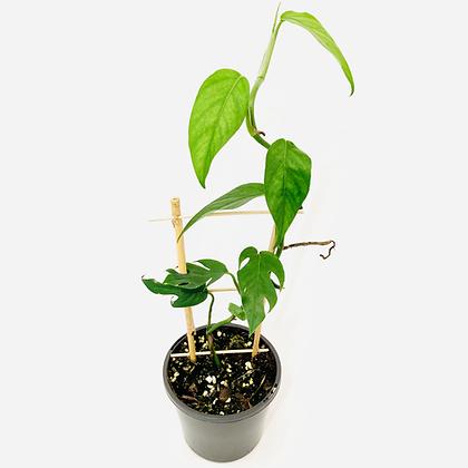 Epipremnum Pinnatum - GEDE