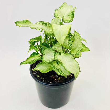 Syngonium Podophyllum – GREEN FEATHER