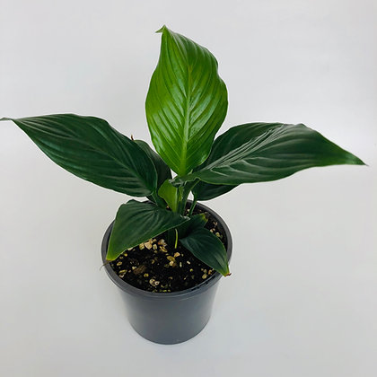 Spathiphyllum Cosmic Cupido – PEACE LILY