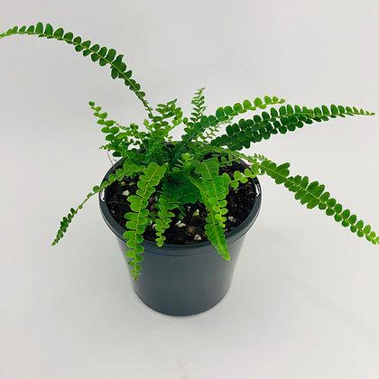 Nephrolepis Codifolia – DUFFI FERN