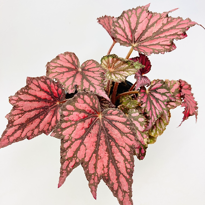 Begonia Bewitched – RED & BLACK