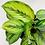 Thumbnail: Calathea Ornata - BEAUTY STAR