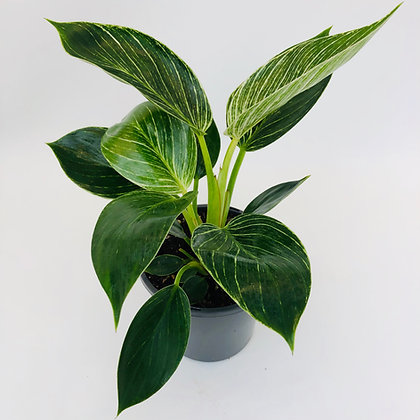 Philodendron – BIRKIN