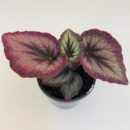 Begonia Rex - AIRBRUSH