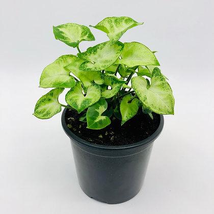 Syngonium Podophyllum – PIXIE