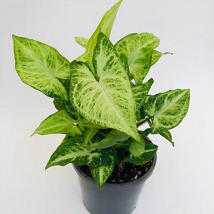 Syngonium Podophyllum – ROBUSTA