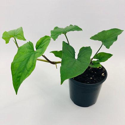 Syngonium Podophyllum – GREEN ARROW