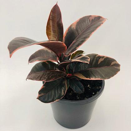 Ficus Elastica Ruby – RUBBER PLANT