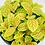 Thumbnail: Fittonia Minima – SKELETON
