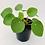 Thumbnail: Pilea Peperomioides – CHINESE MONEY PLANT