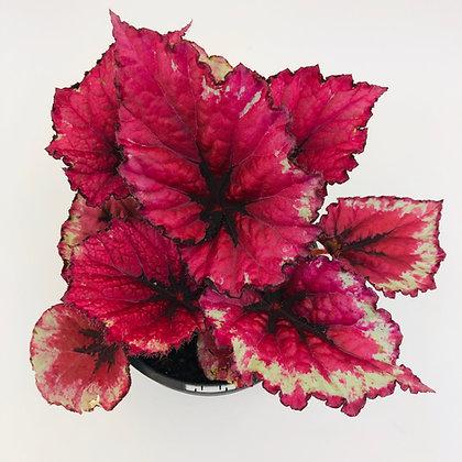 Begonia Rex - TIE DYE