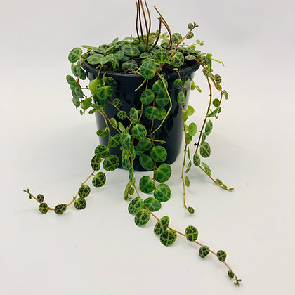 Peperomia Prostrata – STRING OF TURTLES / JADE NECKLACE