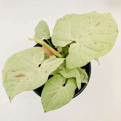 Syngonium Podophyllum - CONFETTI