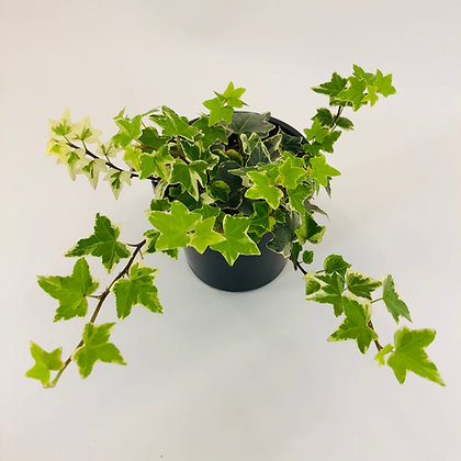 Hedera Helix – VARIEGATED IVY
