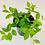Thumbnail: Peperomia Angulata – DIAMOND PEPEROMIA