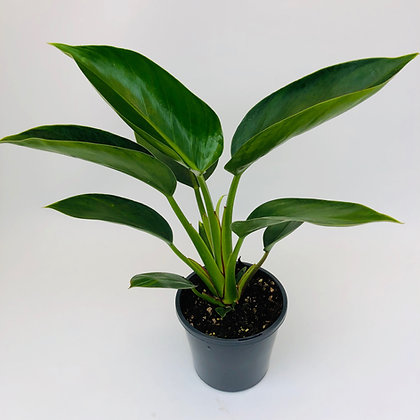 Philodendron – GREEN PRINCESS