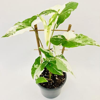 Syngonium Podophyllum Albo Variegata – WHITE FANTASY