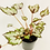 Thumbnail: Begonia Rex – BEWITCHED WINTERGREEN