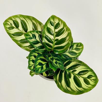 Calathea Makoyana – PEACOCK PLANT