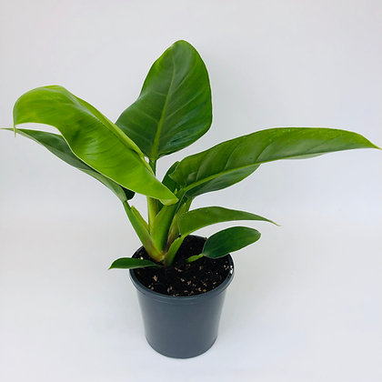 Philodendron Erubescens– IMPERIAL GREEN
