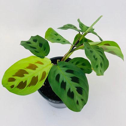 Maranta Leuconeura – GREEN PRAYER PLANT