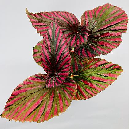 Begonia Rex – EXOTICA