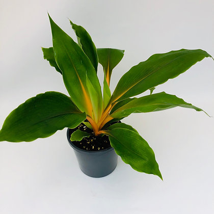 Chlorophytum Green Orange - FIREFLASH
