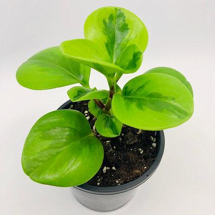 Peperomia Obtusifolia – LEMON LIME