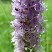 Norbury orchid.JPG