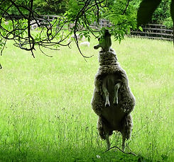sheep eating tree leaves.JPG